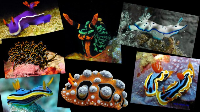 Nudibranch Montage